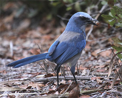 Florida Scrub-Jay found no where else in the world